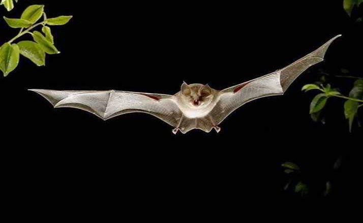 sognare-pipistrello